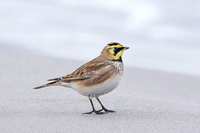 Horned Lark, Alondra Cornuda