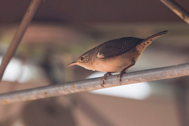 Thrush-like wren, Cucarachero Mirlo