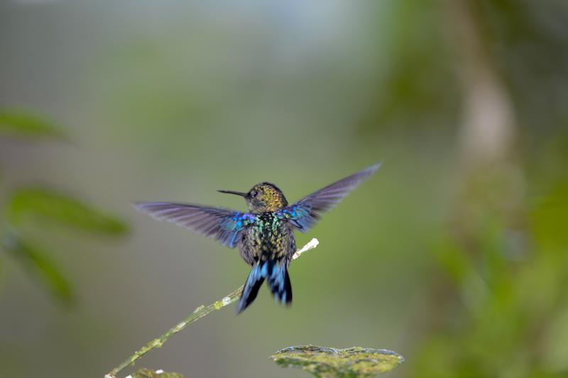 purple-crowned woodnymph male