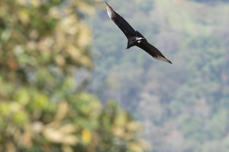 Black vulture, Gallinazo Negro,