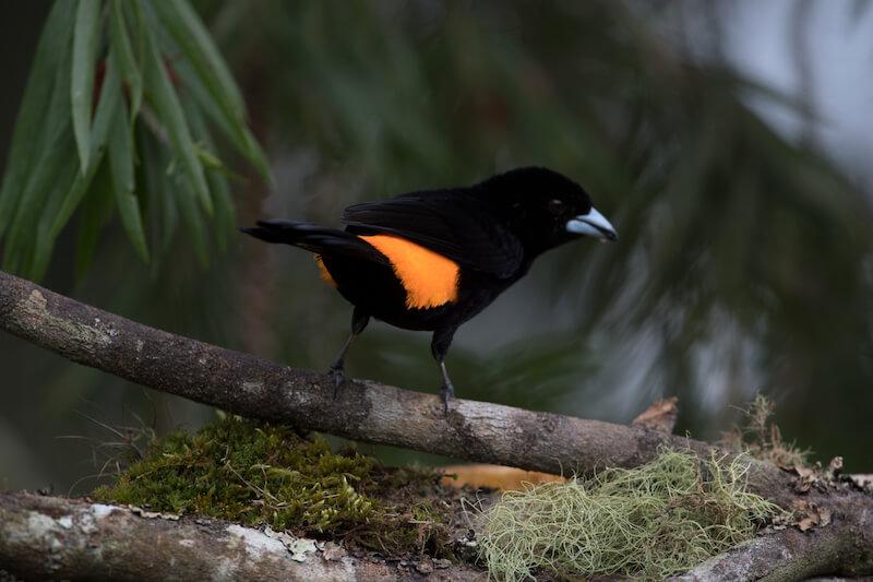 red-jumped-tanager, ramphocelus flamingerus,asoma candela male