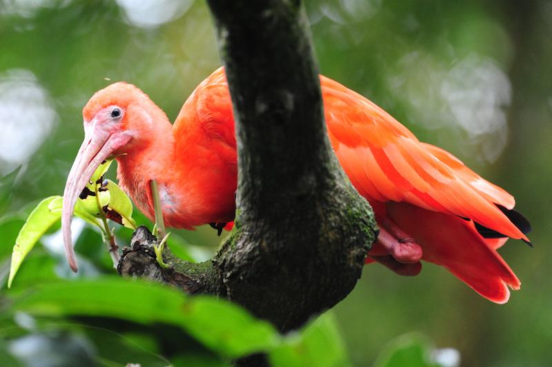 Ibis - Ibis - Threskiornithidae