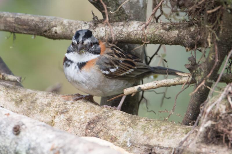 Rufous-collared-sparrow   Copentocito común   Zonotrichia capensis