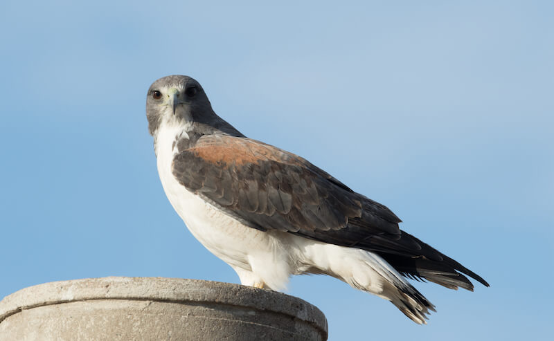 White-tailed hawk, Halcón coliblanco