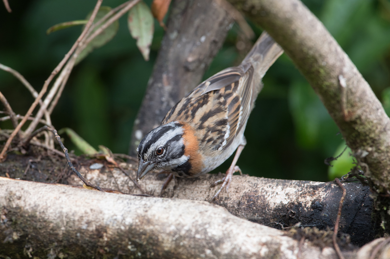 Sparrows - Gorriones - Emberizidae