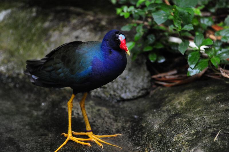 Purple Gallinule - Polla Azul - Rallidae