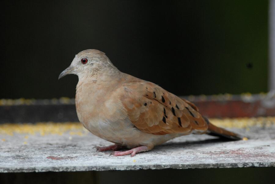 Ruddy-ground-dove, Tórtola comun, Columbina talpacoti