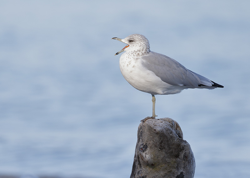 Ring-billed Gull, Gaviota, Laridae