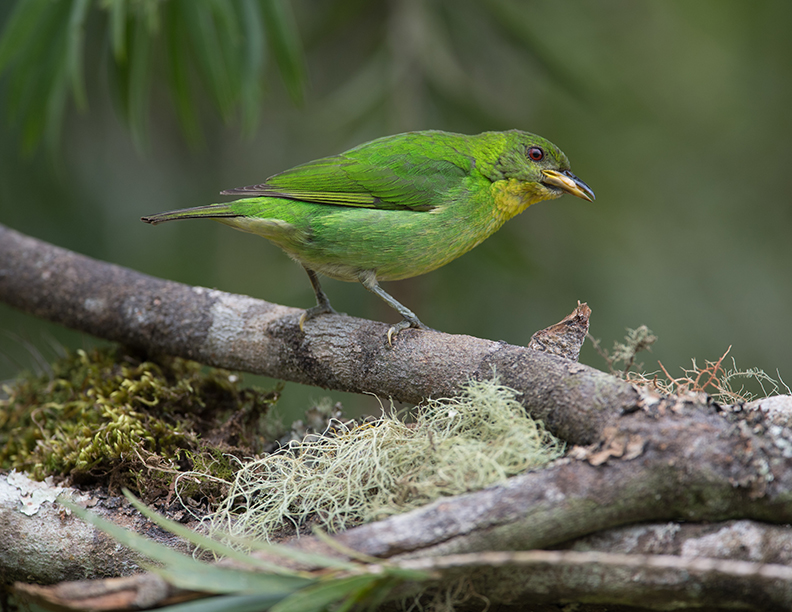 green honeycreeper tanager female