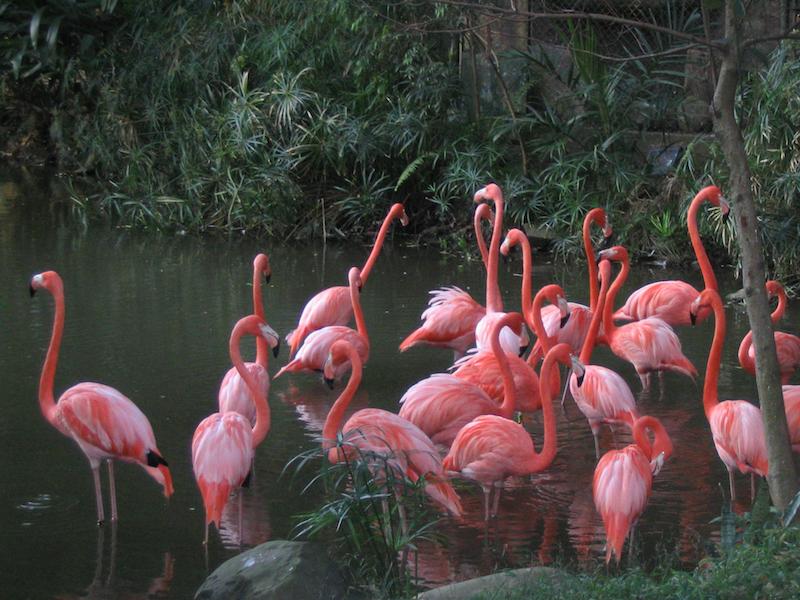 Flamingo - flamenco americano Phoenicopteridae
