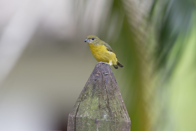 Tick-billed euphonia
