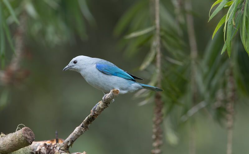 blue-gray-tanager male