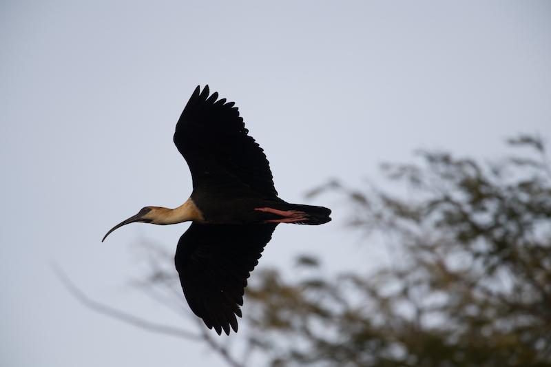 Buff-necked ibis, cocci,