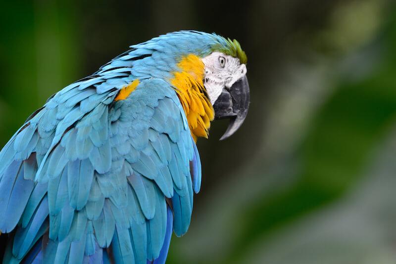 Blue and yellow macaw, Guacamaya azul y amarilla