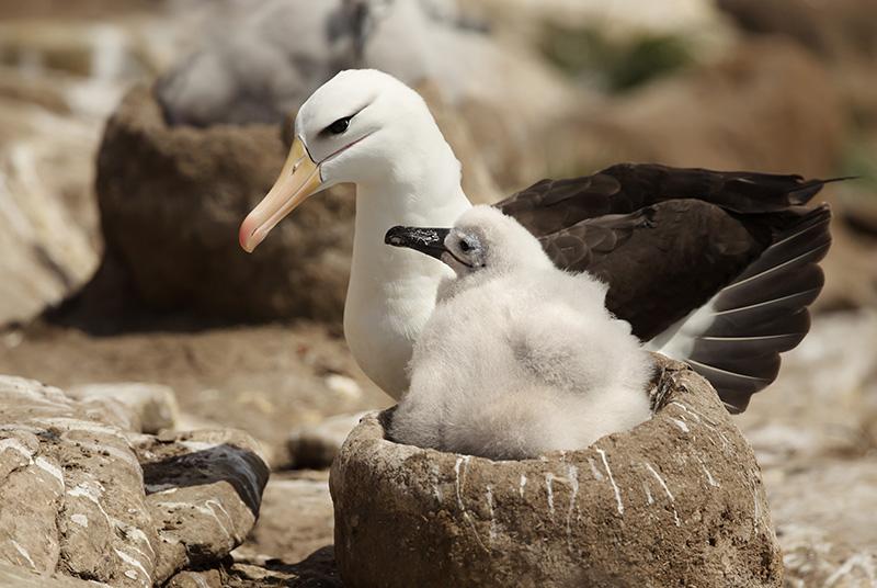 Albatross, Diomedeidae,