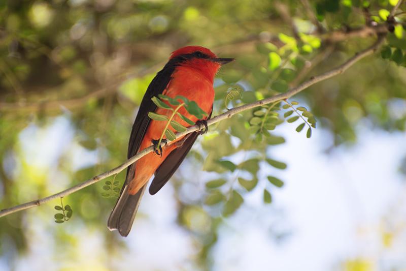 Flycatchers - Titiribi, Tyrannidae