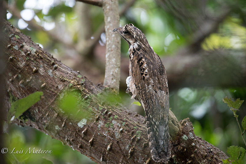 Biemparado común, Common Potoo, Nyctibiidae
