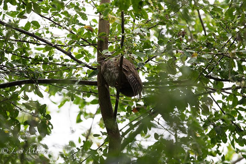 Tropical Screech Owl- Currucutu Comun Megascops choliba