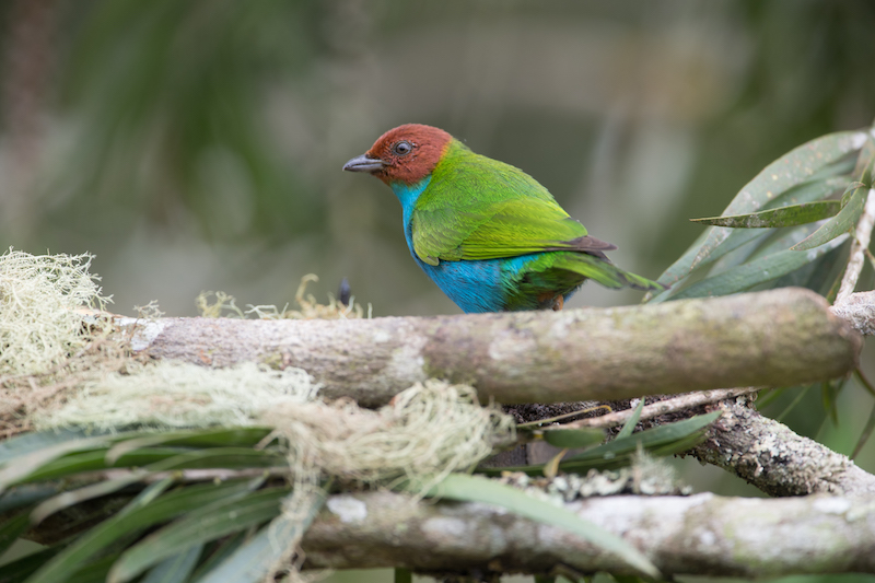 bay-headed male tanager