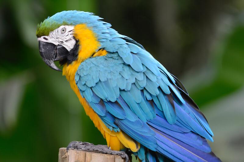 Guacamaya azul y amarilla