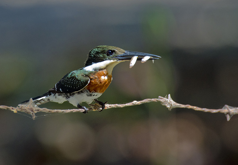 Amazon Kingfisher, Martin Pescador Matraquero, Alcedinidae