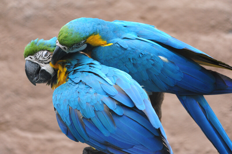 Blue and yellow Macaw, Guacamaya azul y amarilla