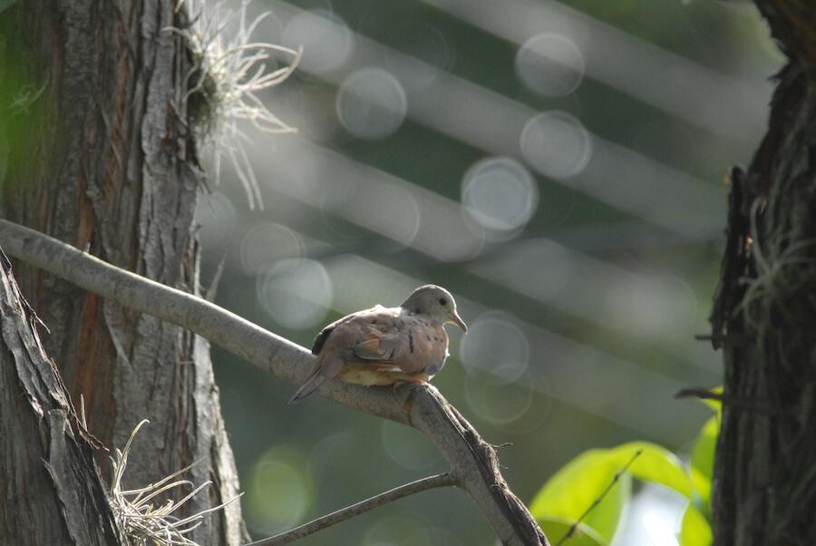 Ruddy ground-dove | Tortola Rojiza o común
