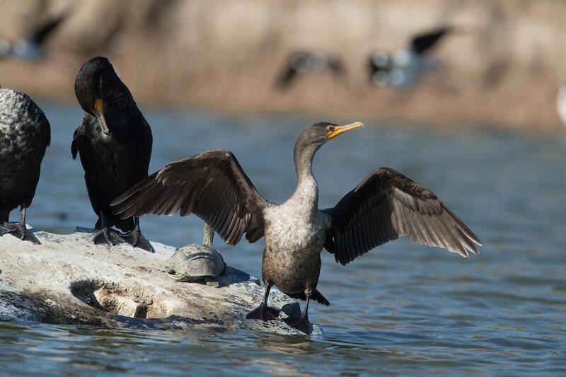 cormorant, Cormorán, Phalacrocoracidae