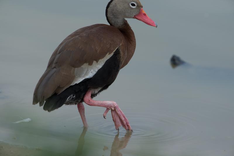 Black-bellied whistling duck| Iguaza común or Pisingo | Dendrocygna autumnalis