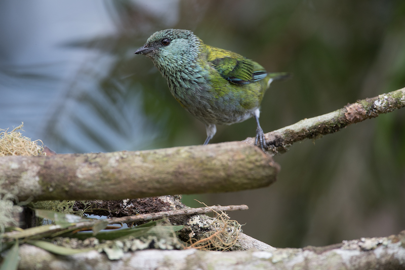 black-caped female tanager