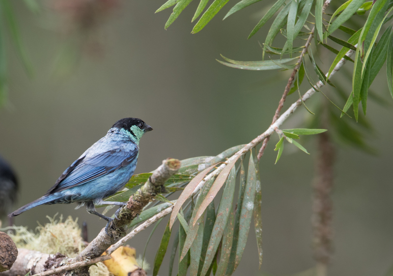 black-caped male tanager