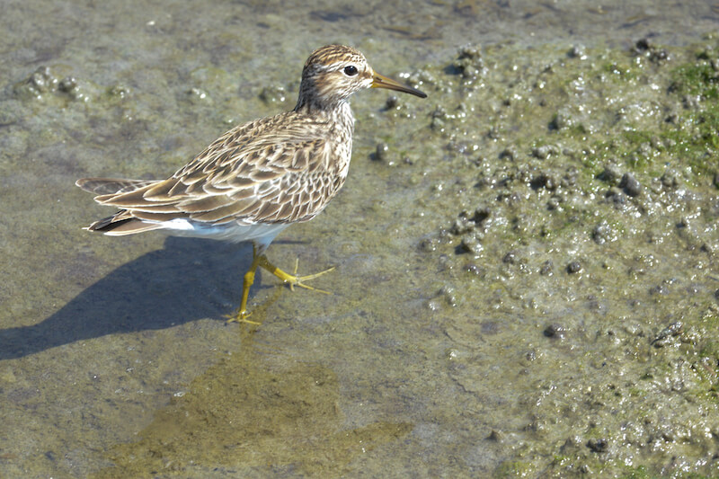 Sandpipers, Snipes, Becasinas, Scolopacidae
