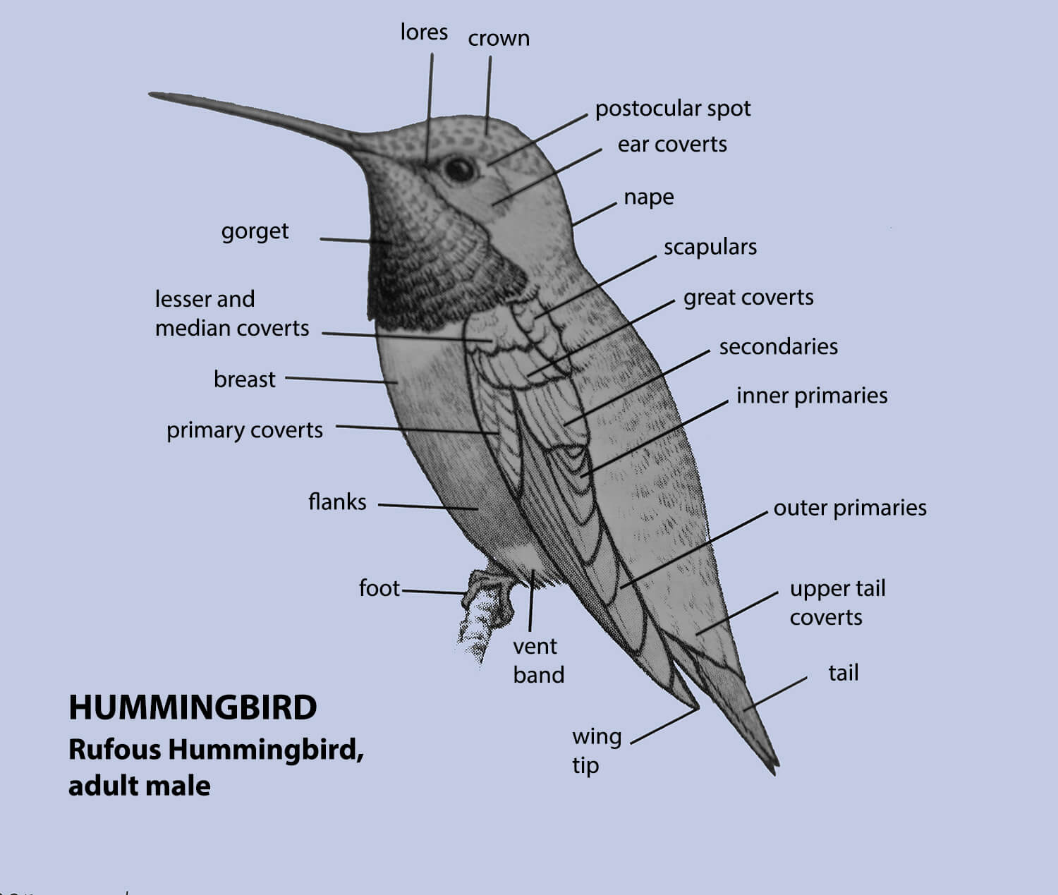 Bird Topography, Hummingbird