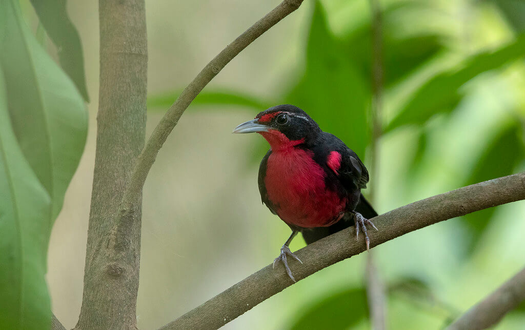 Rosy-thrush tanager