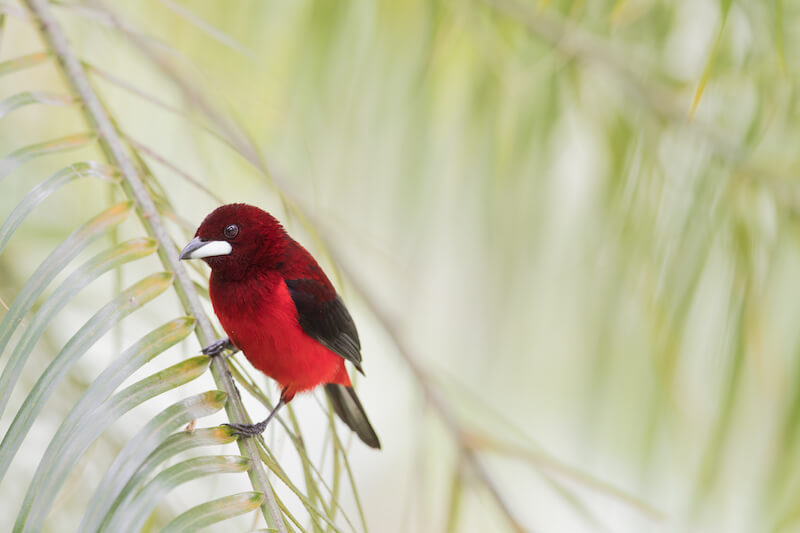 crimson-backed tanager female