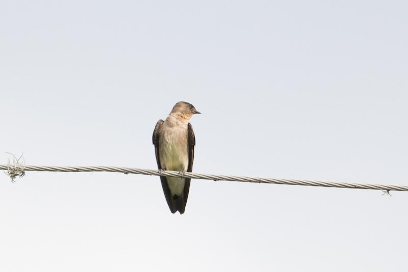 Blue and white swallow, golondrina Azul y blanca, Pygochelidon cyanoleuca