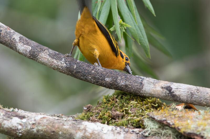 golden tanager | tangara dorada | Tangara arthus