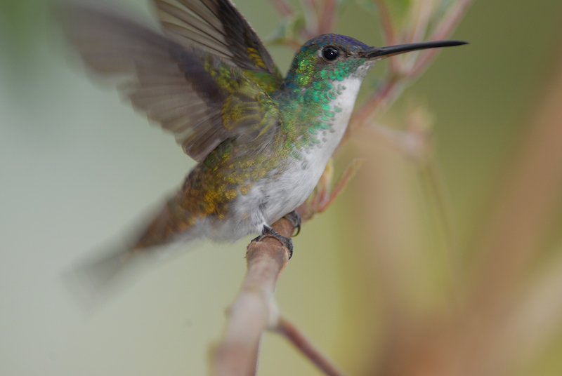 andean emerald male