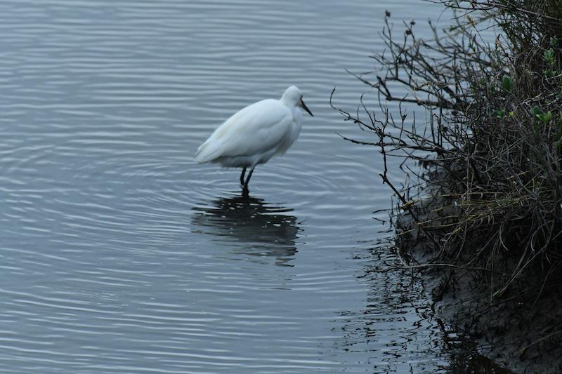snowy egret, garza de los demos dorados, egretta thula