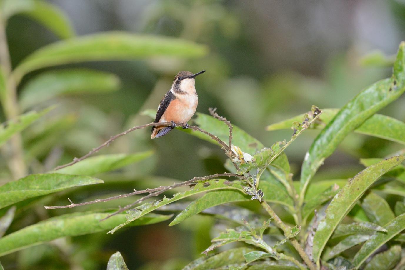 Purple-throated woodstar female