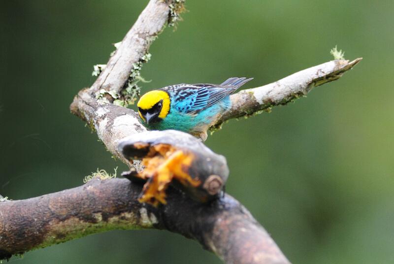 saffron-crowned tanager | tángara cabeciamarilla | Tangara xanthocephala