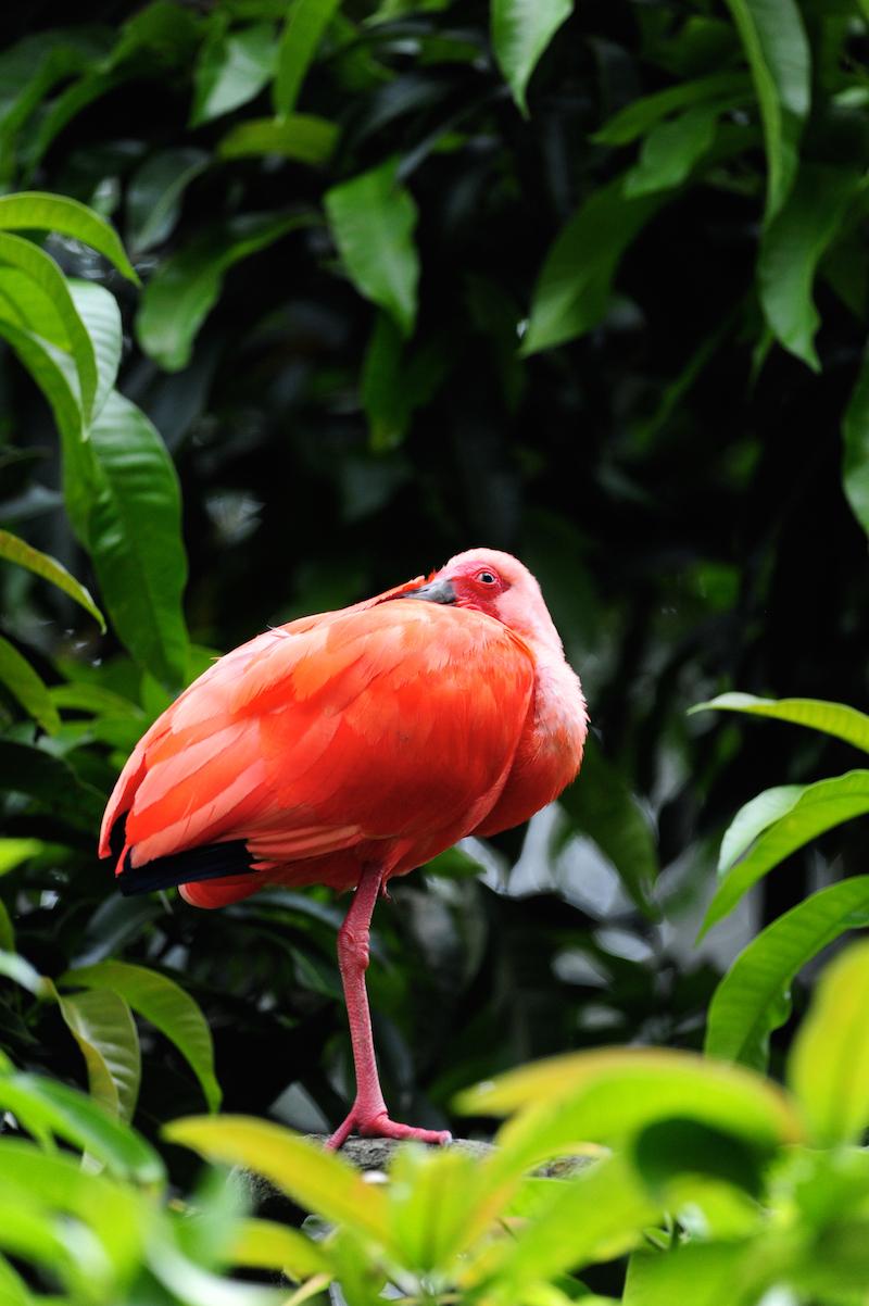 scarlet ibis, ibis escarlata, eudocimus ruber