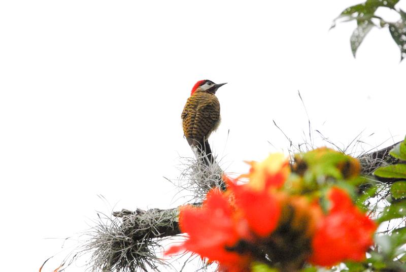 spot-breasted woodpecker, Carpintero buchipecoso, Colaptes punctigula
