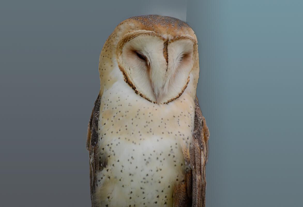 Barn Owl -Lechuza Común, Tytonidae