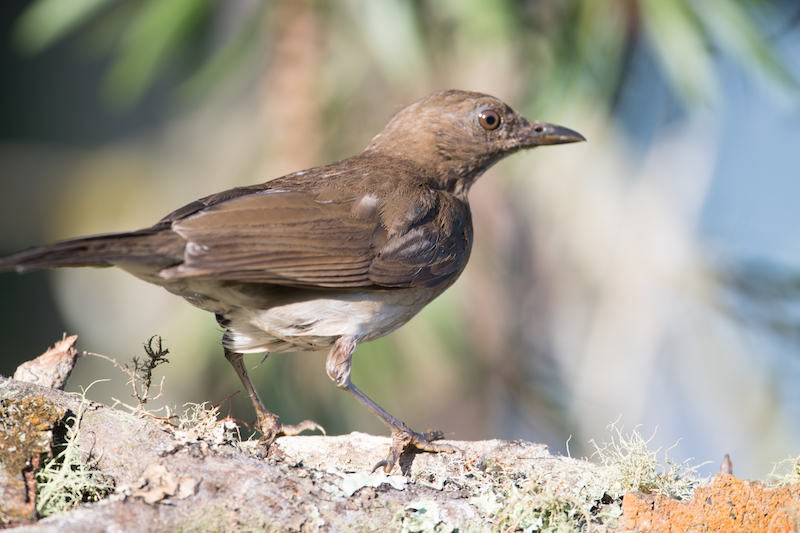Mirla ollera, black-billed thrush