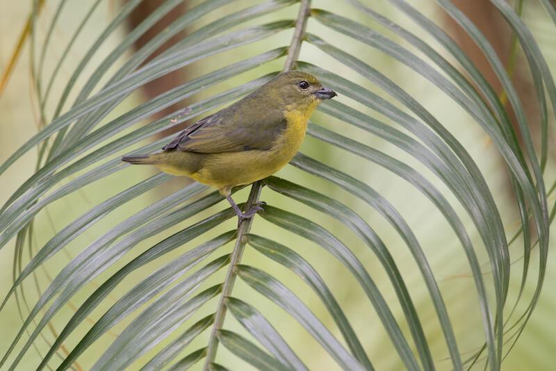 Tick-billed euphonia | Eufonia gorgiamarilla | Eufonia laniirostris