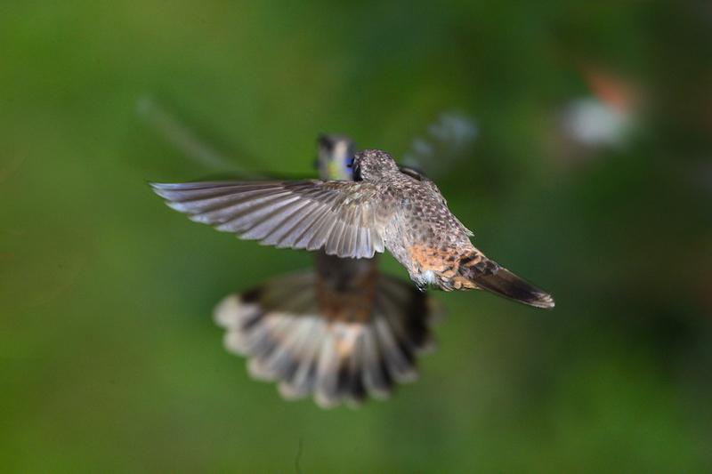 brown violetear female
