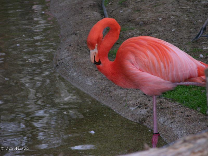American Flamingo   Flamenco americano   phoenicopterus ruber