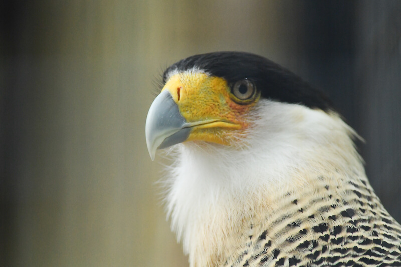 Halcones, Falcons, Caracara,Falconidae
