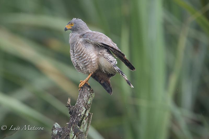 roadside hawk, gavial caminero, Rupornis magnirostris